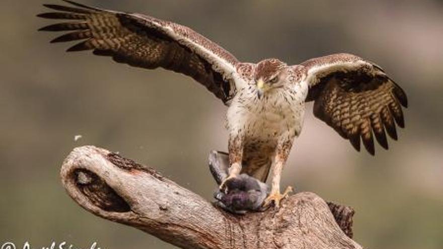 Águila perdicera / GobEx