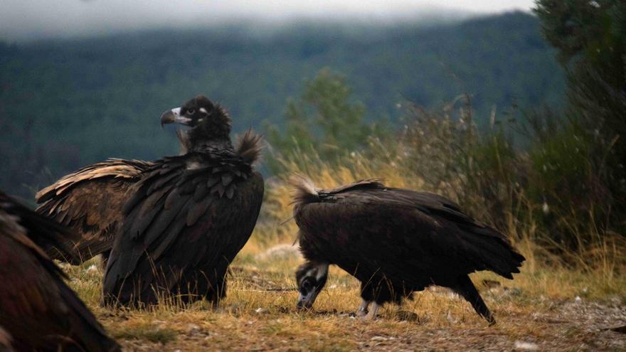 Acebo (a la izquierda) y Arca son la primera pareja de buitre negro que ha visto nacer su pollo.