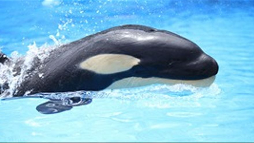 Vicky, la segunda cría de orca nacida en España.