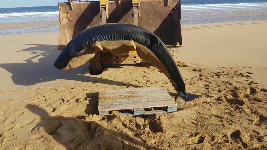 Un cachalote pigmeo adulto ha sido hallado muerto en la playa de Roque del Moro, en Cofete.