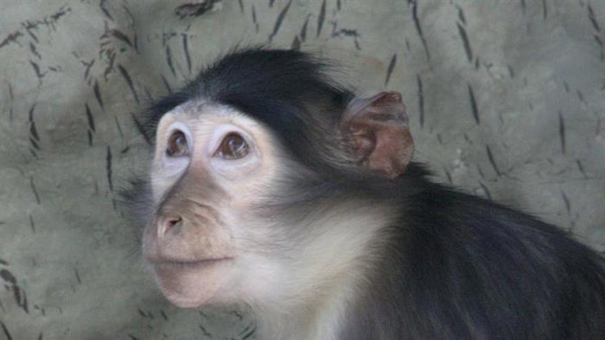 Nace en el Zoo de Barcelona un mangabey, un primate en peligro de extinción