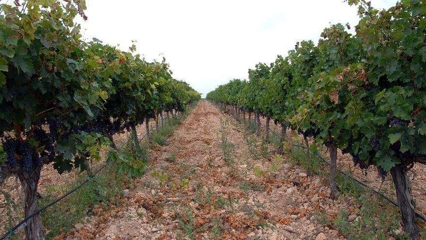 Los viñedos encabezan la variedad de cultivos ecológicos en la Comunitat Valenciana