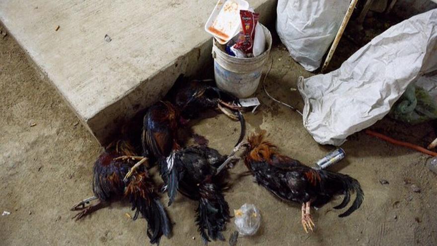 Gallos muertos tras una pelea. México