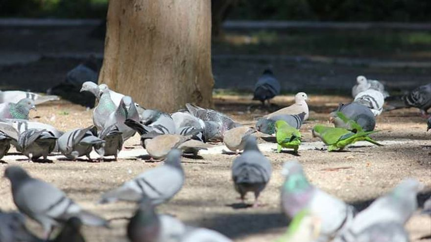 Aves urbanas que merecen y necesitan protección.