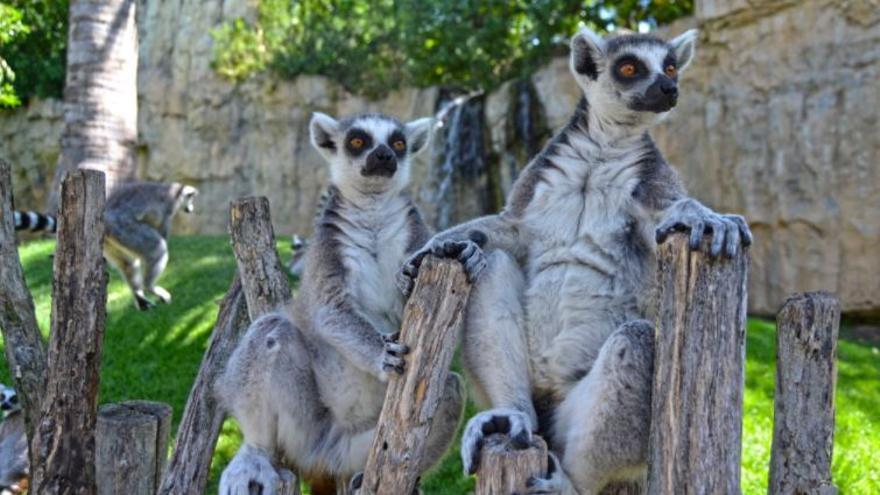 Bioparc cuenta con un lemur como nuevo inquilino