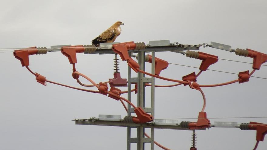 Ejemplar de águila imperial ibérica posado en uno de los apoyos de la línea eléctrica Pozohondo-Salobral . Imagen cedida por la Dirección Provincial de Medio Ambiente.