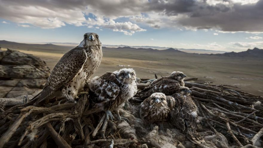 'Falcons and the Arab Influence', serie ganadora del primer premio en la categoría 'Naturaleza'. Un halcón saker hembra con sus polluelos en Erdene Sant, Mongolia. Los Sakers están en peligro de extinción, debido a la pérdida de hábitat y el comercio ilegal de vida silvestre.