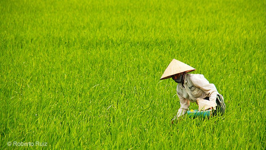 Los campos de arroz de Vietnam
