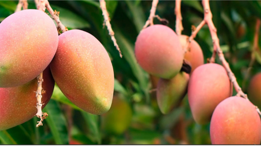 Gran Canaria produce casi 4.000 toneladas de mangos para consumo local