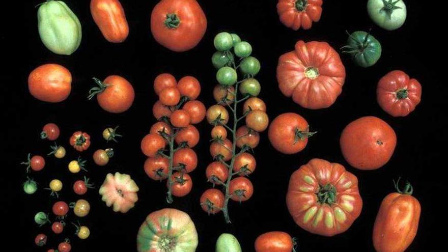 diversidad y tomate