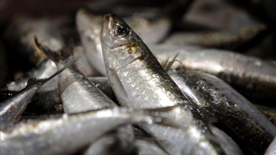 El 20 de septiembre cierra la pesquería de sardina.