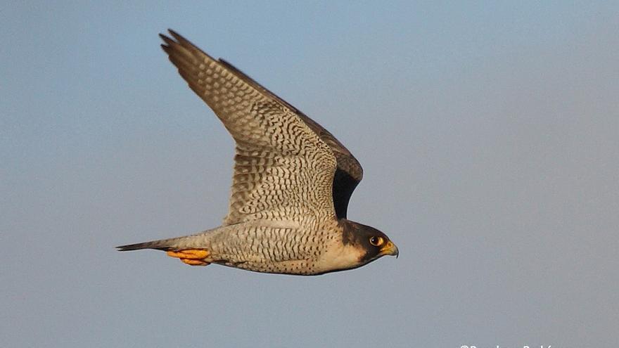 En la imagen, un ejemplar en vuelo del halcón de 'Berbería' o 'tagarote'. Foto: BENEHARO RODRÍGUEZ.