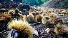 Tostones: la tradicional celebración con castañas en el malagueño Valle del Genal