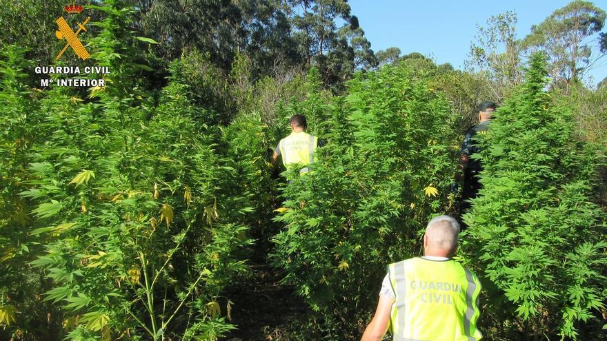 La GC destruye una plantación de marihuana oculta en el Parque de las Marismas de Santoña