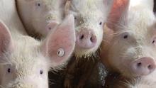 """Preocupación y """"rechazo"""" a las macrogranjas porcinas en los municipios conquenses"""