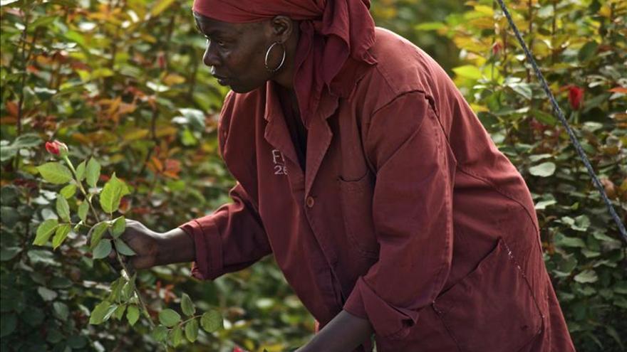 La mayoría de las rosas que mañana se regalarán en las calles europeas han crecido en los invernaderos de Kenia. /EFE.