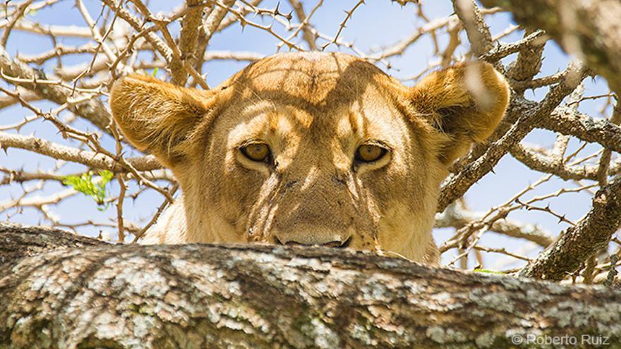 Leona en Parque Nacional Serengueti