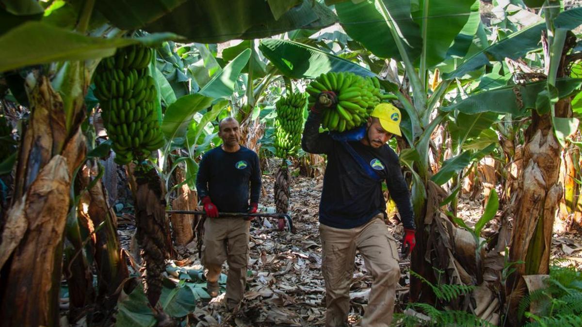 Dos agricultores en una plantación de plátanos.