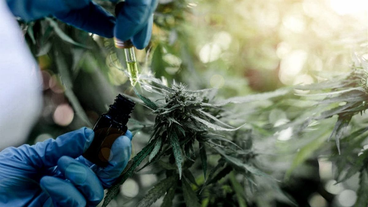 Realizan el primer Relevamiento Federal de Producción de Cannabis