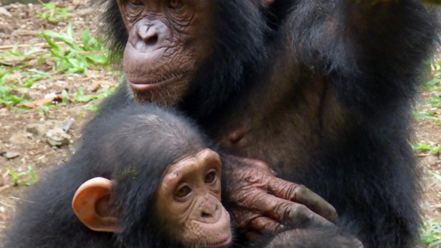 Madre e hija, chimpancés rescatadas por el santuario del PGS en Camerún. Foto: Proyecto Gran Simio