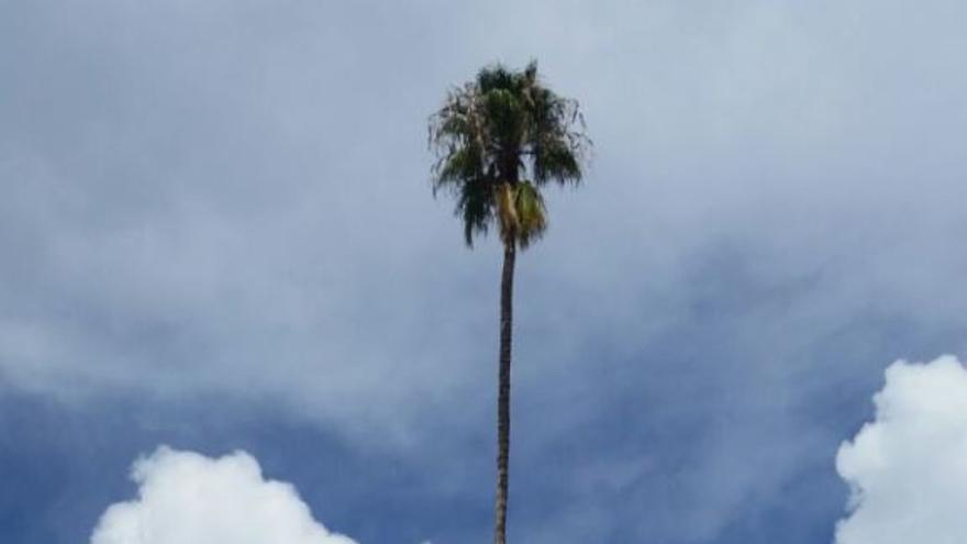 Imagen de la palmera del Mayantigo.