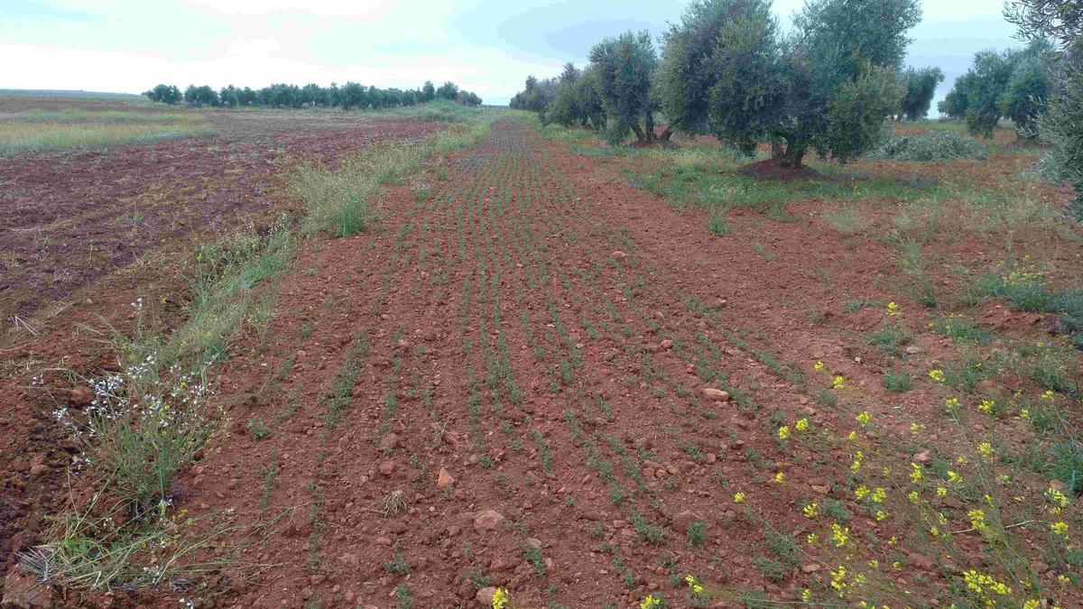 Franja de veza, una leguminosa, sembrada en un olivar del Campo de Montiel, para favorecer a las aves esteparias
