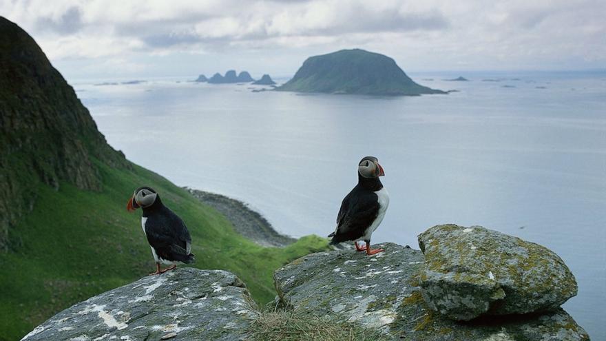 Frailecillos en los cantiles de la isla de Rost. Nord-Norgue
