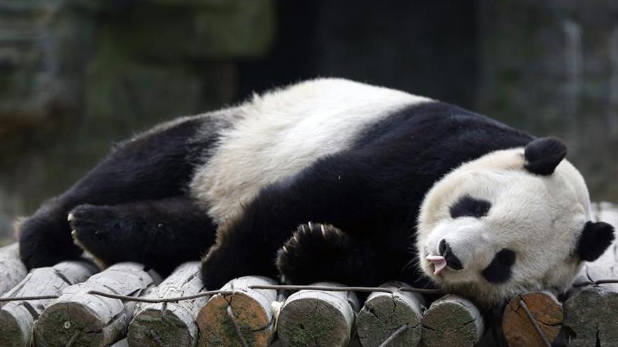 La conservación funciona para el panda, pero debe aumentar para salvarlo