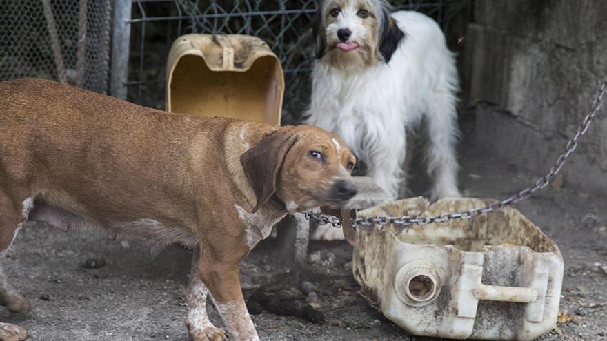 Los perros están encerrados y encadenados en jaulas.