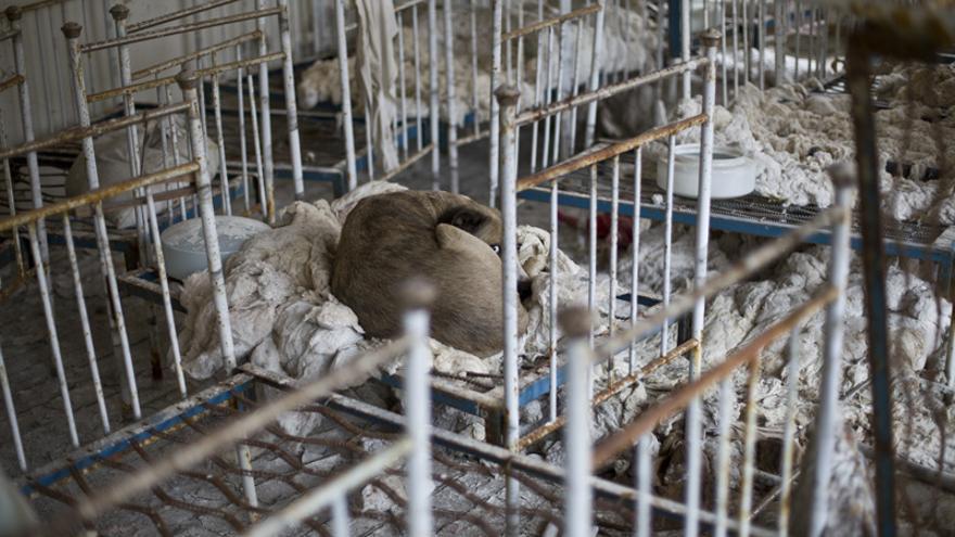 Un perro salvaje recostado en una de las muchas pequeñas camas de una guardería en Prípiat
