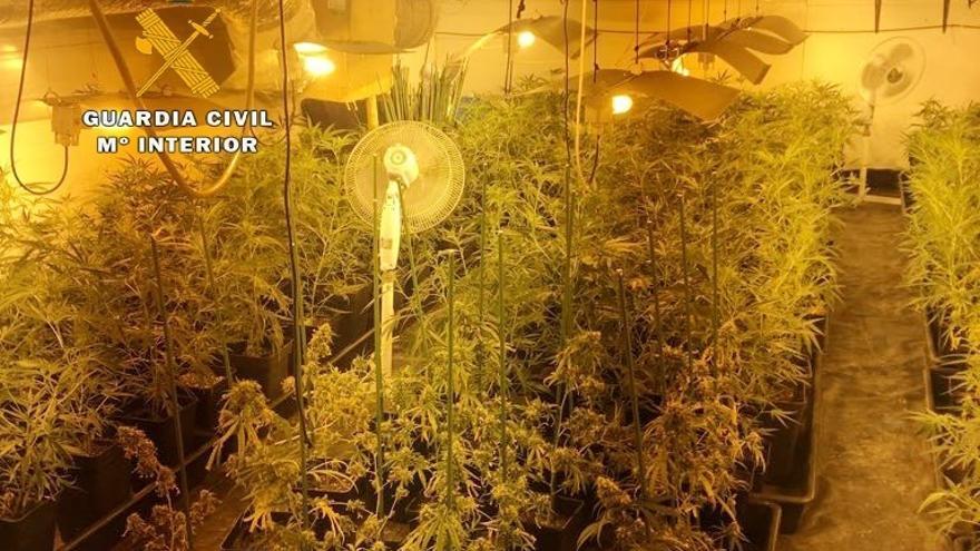 Desmantelada una plantación de marihuana en una cuadra de Ambrosero con más de 500 plantas