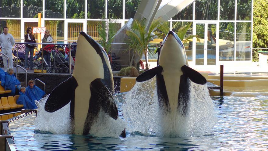 Espectáculo con orcas en cautividad en Loro Parque (Tenerife). Foto: Proyecto Gran Simio (GAP/PGS-España)