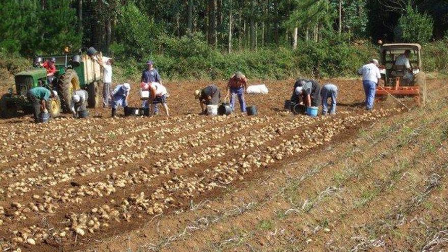 Recogida de patatas en una parroquia gallega