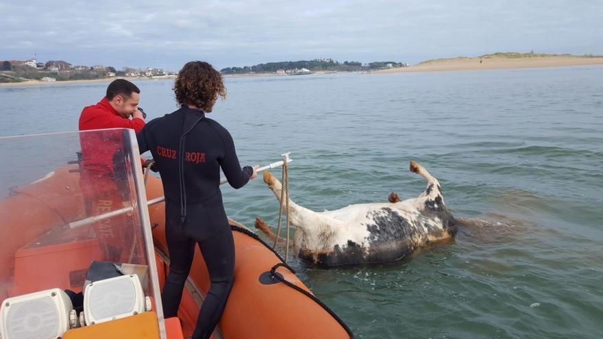 El cadáver de una vaca aparece flotando en la bahía