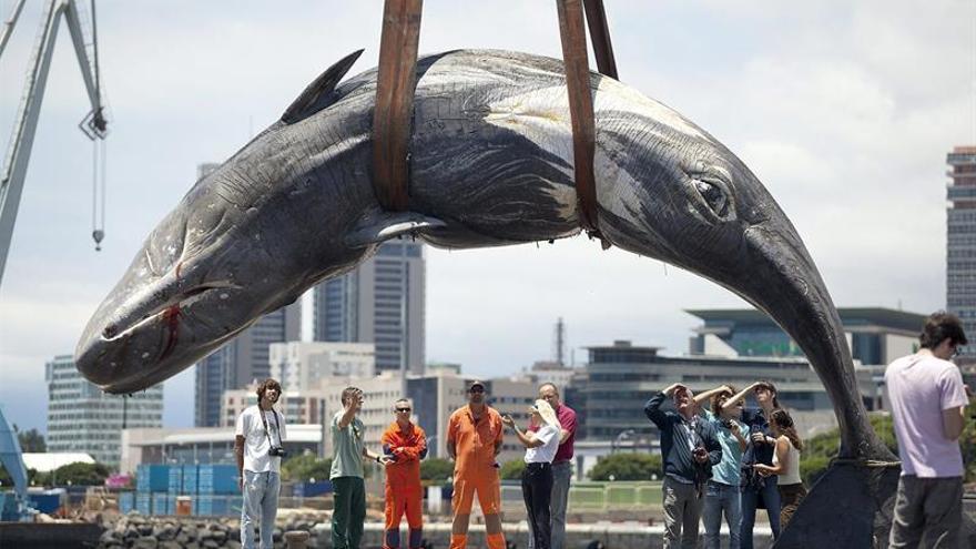 El cachalote, el cetáceo más amenazado en Canarias por la actividad humana