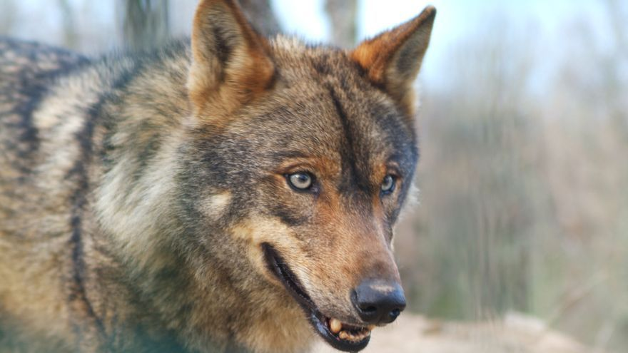 Lobo ibérico disecado en el Museo de la Fauna Salvaje de Boñar (León). Foto: 3Félix/CC BY-SA 3.0