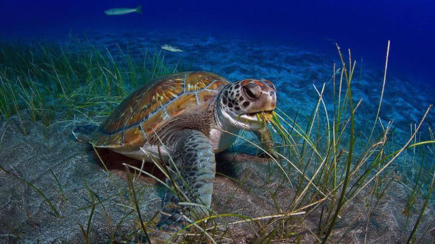 Sebadal en el sur de Tenerife, que sirve como hábitat y alimento para especies como la tortuga boba
