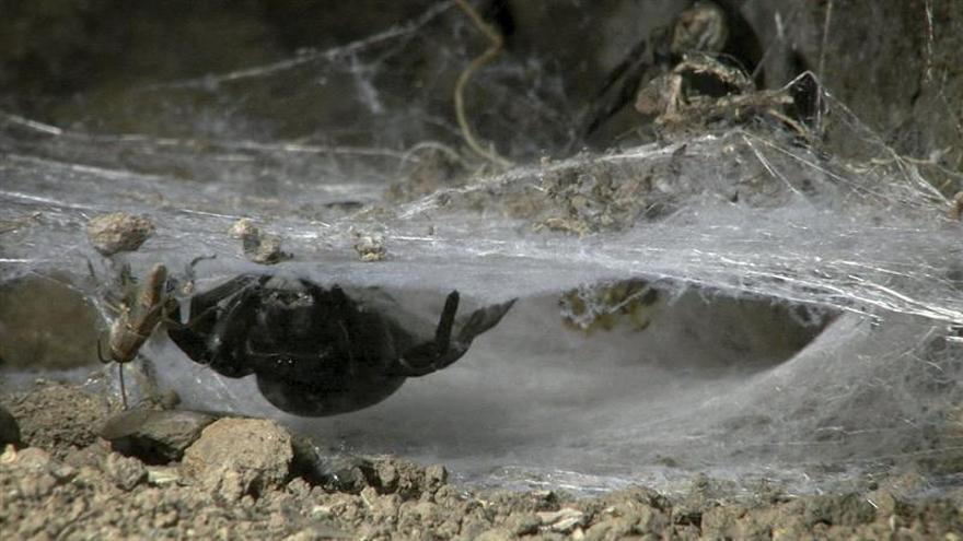 La Gomera, única isla canaria donde habita la araña de terciopelo