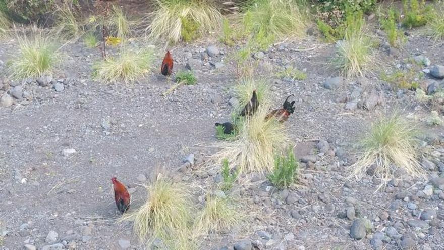 Gallos y gallinas en el barranco de Las Nieves.