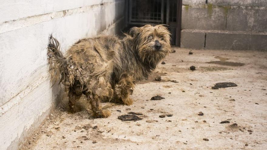 Estado en que las activistas encontraron en el criadero a una de las perras de raza yorkshire.