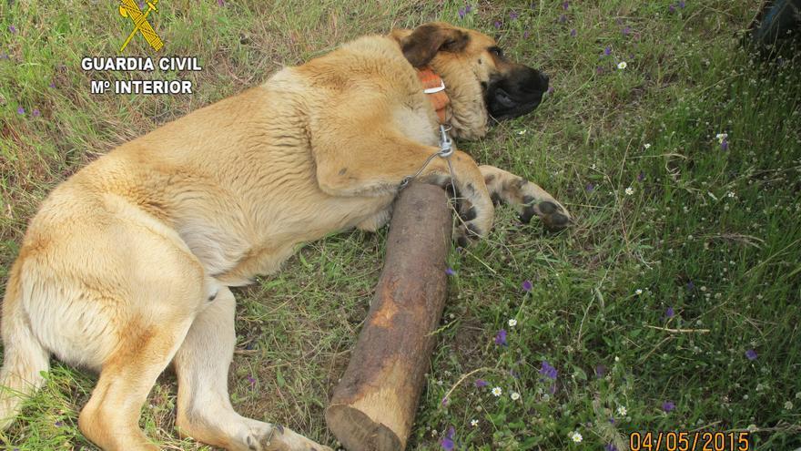 El animal arrastraba el tronco cada vez que se movía o levantaba la cabeza / Guardia Civil