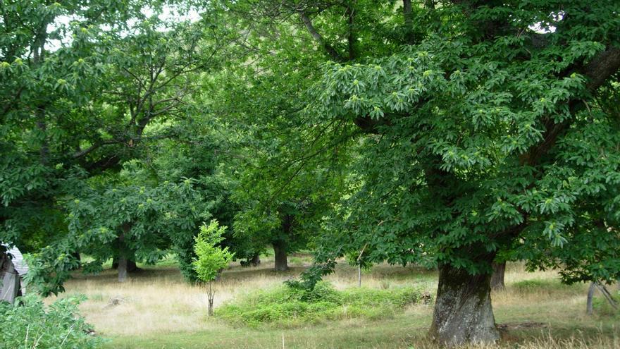 La 'Dryocosmus kuriphilus' ataca los bosques de castaños.
