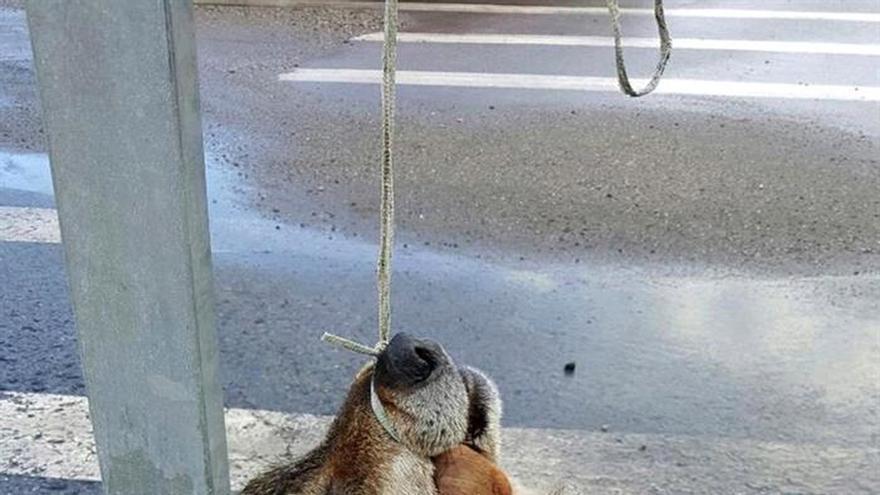 Hallan la cabeza de un lobo colgada en una señal de tráfico en Salas (Oviedo)