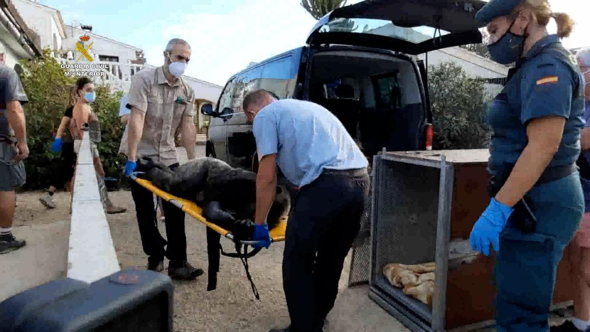 Una agente de la Guardia Civil supervisa a Suzie poco antes de ser trasladada de El Campello a Girona.