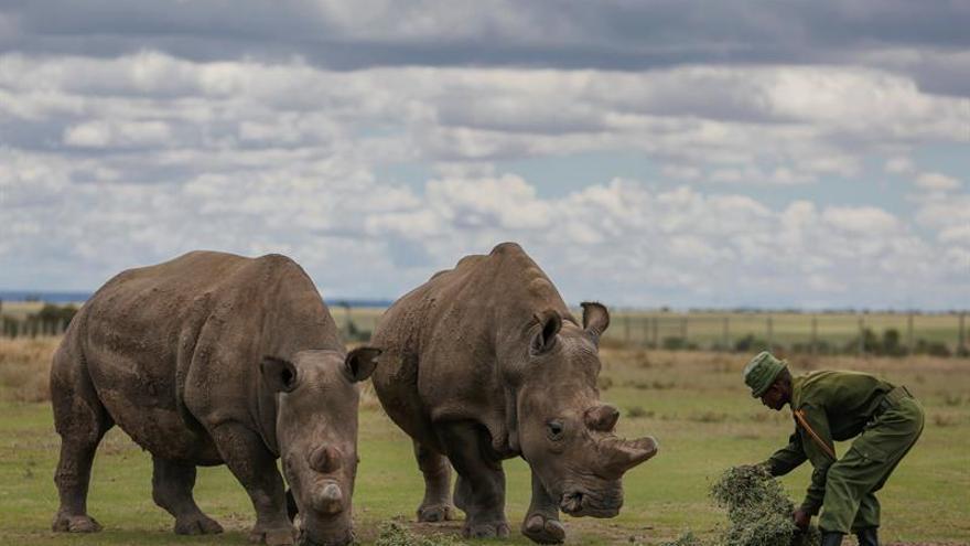 Logran desarrollar dos embriones viables de rinocerontes blancos del norte