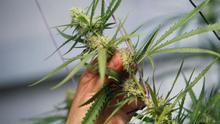 España mira para otro lado mientras cada vez más países regulan el uso del cannabis