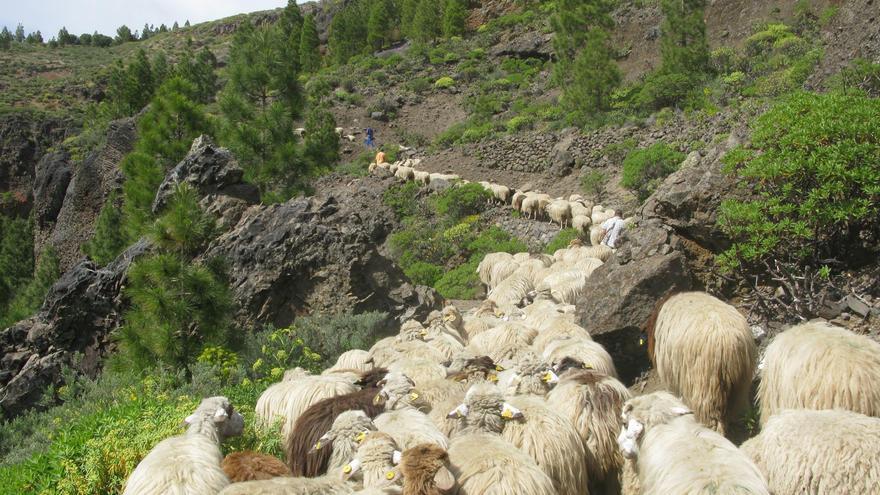 Parte del rebaño del pastor 'Pepe el de Pavón'.