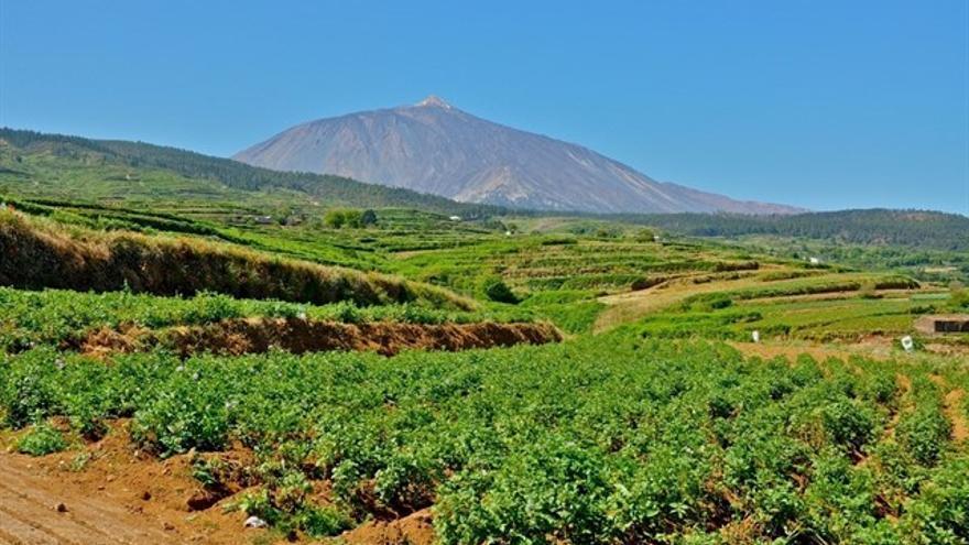 Cultivo de papas en las medianías altas del norte de Tenerife