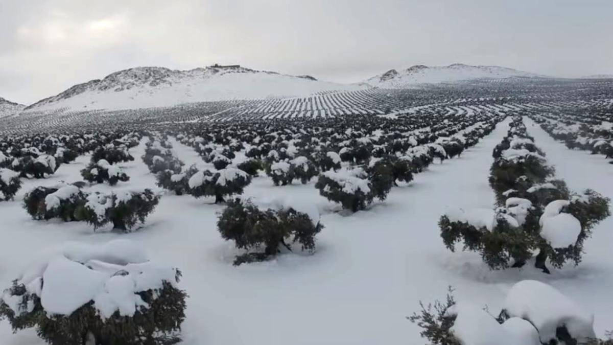Olivos afectados por Filomena