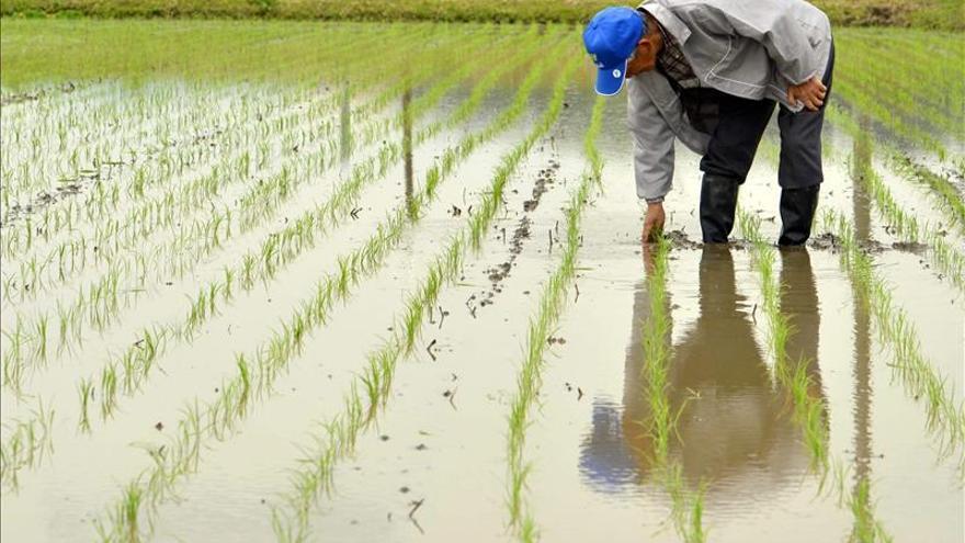 Japón planea dar ayudas a los agricultores para compensar el impacto del TPP